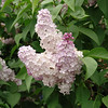 wm-c-barry-DSC04295 Lilac photos by Deborah Carney