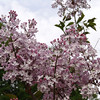 oblata-DSC03043 Lilac photos by Deborah Carney