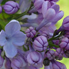 wonderblue-DSC01507 Lilac photos by Deborah Carney