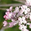 oblata-DSC03048 Lilac photos by Deborah Carney