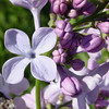 wonderblue-DSC01509 Lilac photos by Deborah Carney