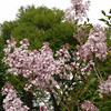 oblata-DSC03039 Lilac photos by Deborah Carney