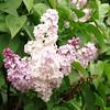 wm-c-barry-DSC04288 Lilac photos by Deborah Carney