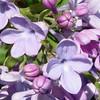 wonderblue-DSC01511 Lilac photos by Deborah Carney