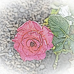 old-time-rose-maplewood-0018