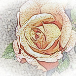 old-time-rose-maplewood-0031