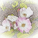old-time-rose-maplewood-0027