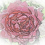 old-time-rose-maplewood-0035