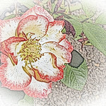old-time-rose-maplewood-0039