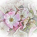 old-time-rose-maplewood-0017