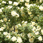 Agnes-Rose-0008-nybg-lox