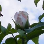 frau-karl-druschki-roses-bbg-38