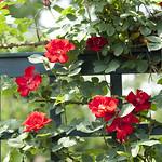 altissima-climbing-rose-nybg-lox_0007