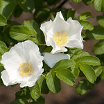Alba-Rose-0002-nybg-lox