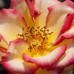 Betty-Boop-Rose-0007-nybg-lox
