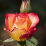Betty-Boop-Rose-0005-nybg-lox