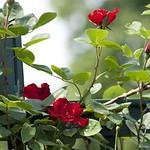 altissima-climbing-rose-nybg-lox_0008