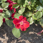 home-run-shrub-rose-nybg-vo_0002