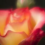 Betty-Boop-Rose-0004-nybg-lox