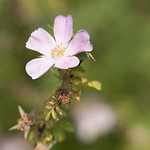 Altaica-Rose-0005-nybg-lox