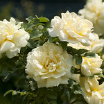 Agnes-Rose-0003-nybg-lox