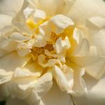 Agnes-Rose-0004-nybg-lox