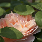 carding-mill-shrub-rose-nybg-lox_0007