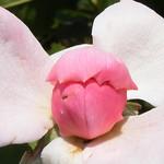 john-davis-roses-bbg-67