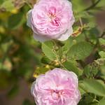 De Meaux-Rose-0003-nybg-lox