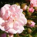 cinderella-roses-bbg-127