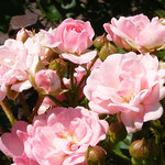 cinderella-roses-bbg-128