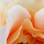 folksinger-roses-bbg-119