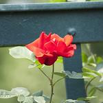 altissima-climbing-rose-nybg-lox_0006