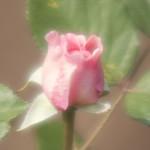 geoff-hamilton-shrub-rose-nybg-lox_0004