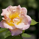 Dr-Eckener-Rose-0003-nybg-lox