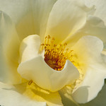goldenwings-shrub-rose-nybg-lox_0004