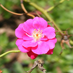 iceland-queen-roses-bbg-08