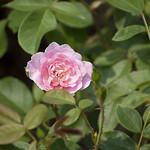 harlow-carr-shrub-rose-nybg-lox_0003