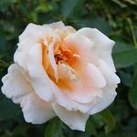 folksinger-roses-bbg-117