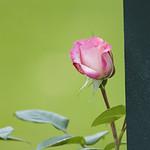harlekin-climbing-rose-nybg-lox_0002