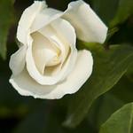 iceburg-floribunda-rose-nybg-lox_0012