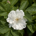 Fimbriata-Rose-0002-nybg-lox